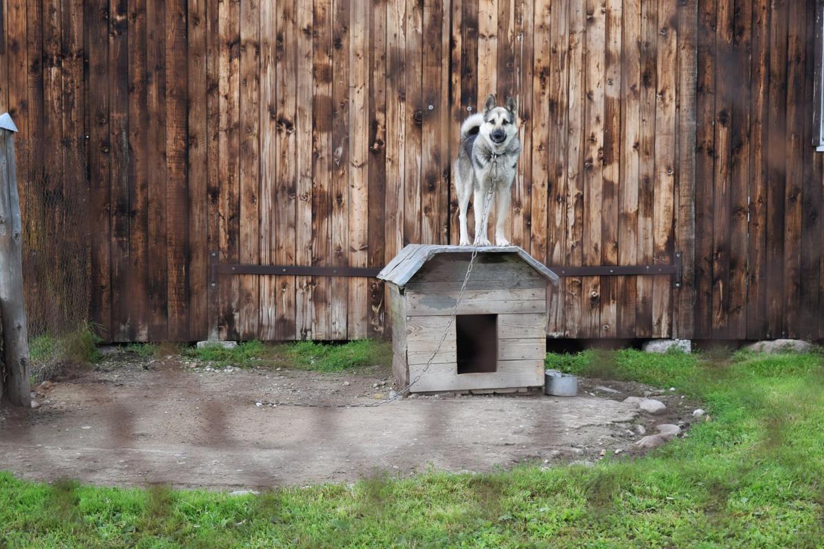 tethered dog
