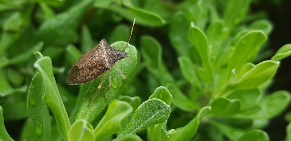 stink bug generic pic