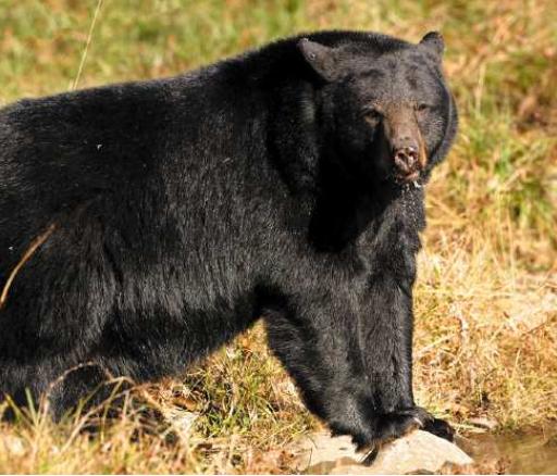 black bear generic photo