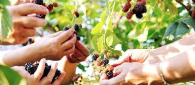 Fruit pickers