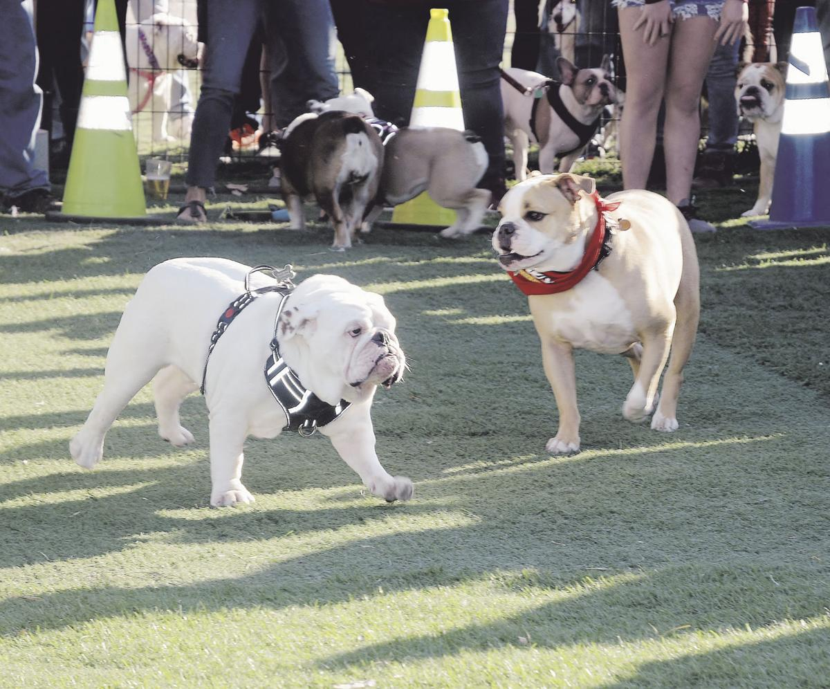 Inaugural Running of the Bull(dogs)