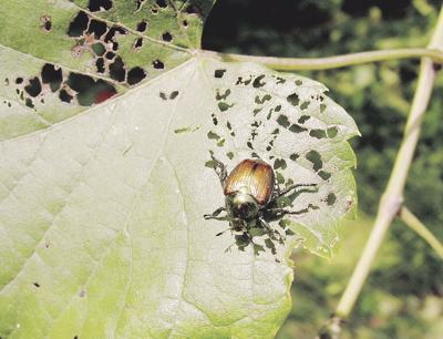 Flooding unlikely to affect Japanese beetle populations