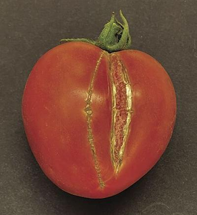 Conditions now right for cracking, splitting tomatoes