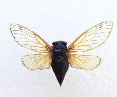 Cicadas are coming, but not to Missouri