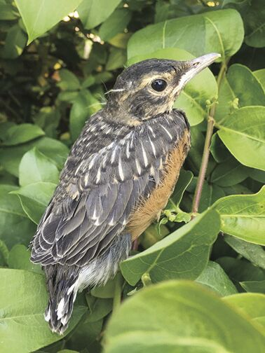 american-robin-fledgling_crop.jpg