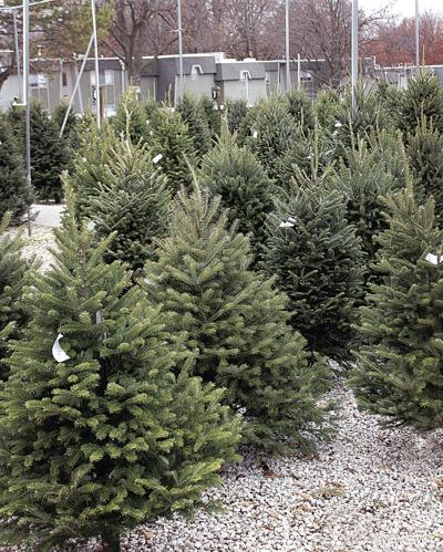 Natural Christmas trees require planning, care