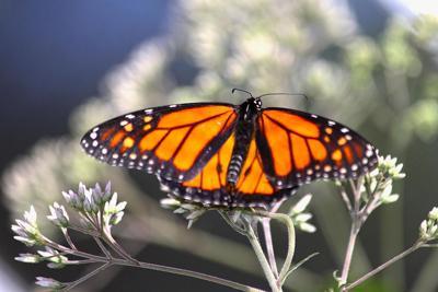 stock_monarchbutterly