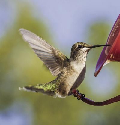 stock_hummingbird