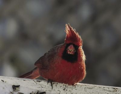 stock_cardinal.jpg