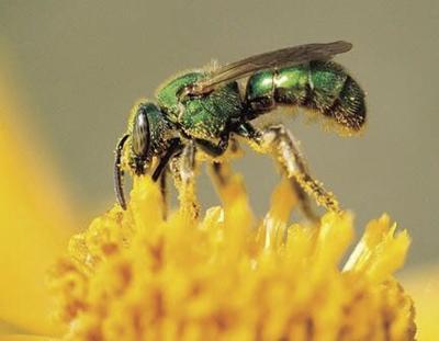 sweat-bee_crop.jpg