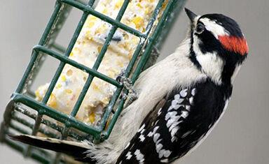 _male_downy_woodpecker.jpg
