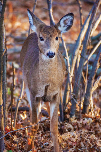 Watch out for wandering deer