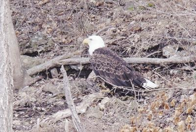 Big birds across Missouri