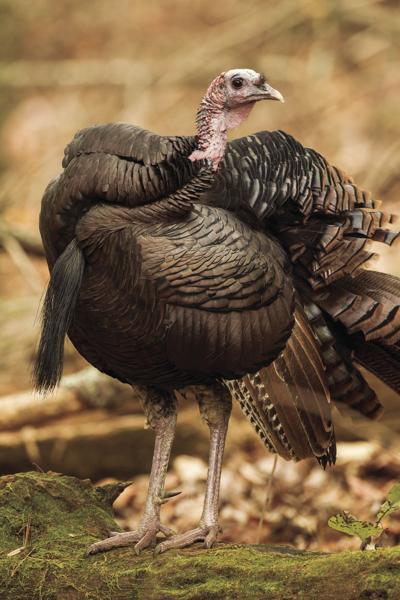 stock_turkey