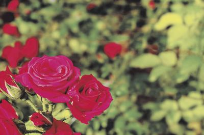 2020_valentine_roses_01