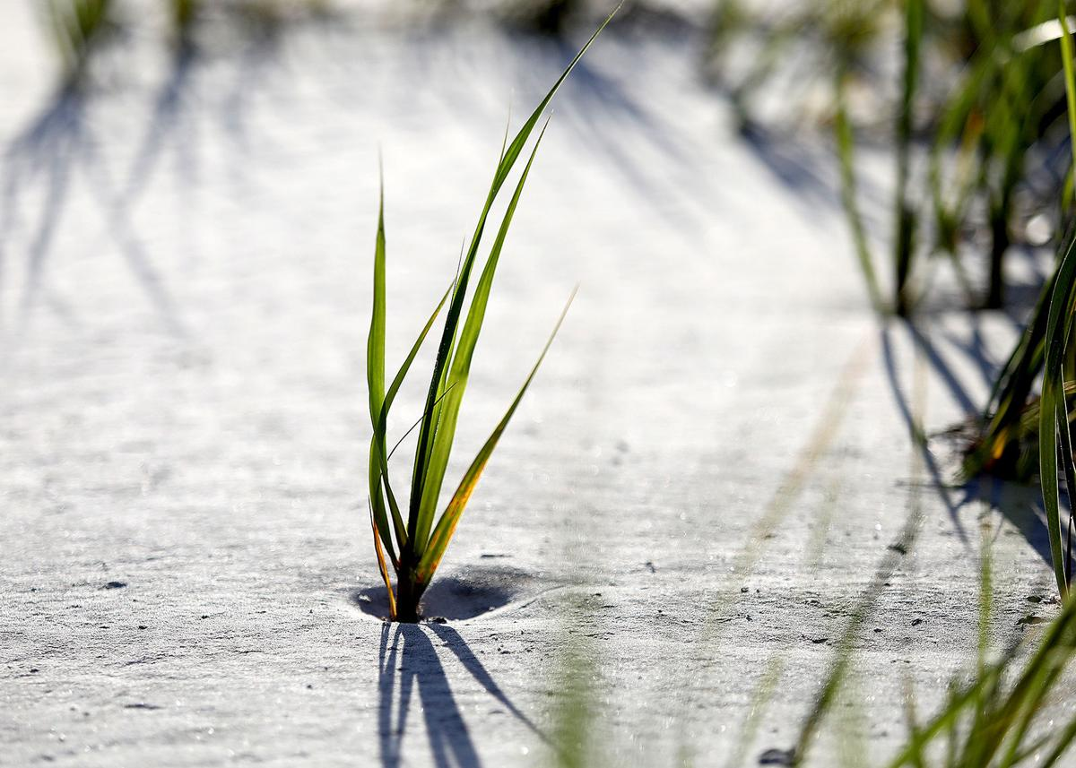 Waties Island grass