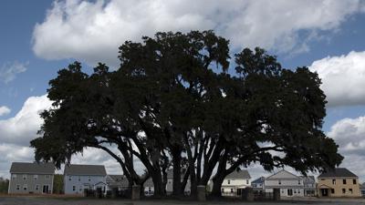 306 CF oaks huger_JM01.JPG
