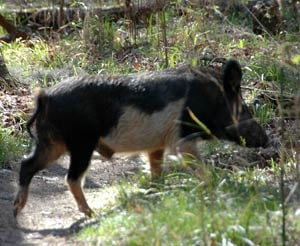 wild hogs causing problems for myrtle beach area residents