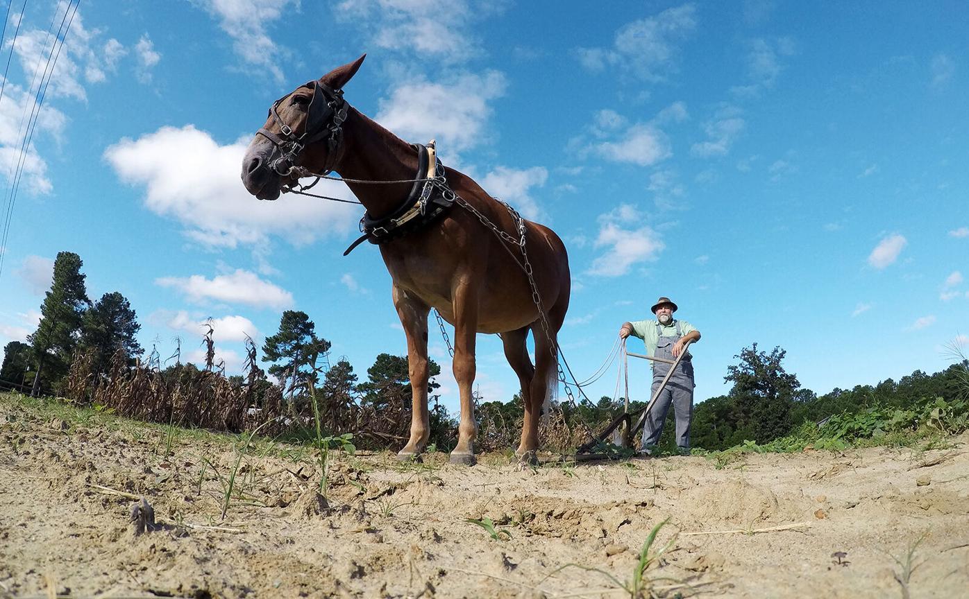 902 Minnie mule paul farm walter hill_JM02.JPG