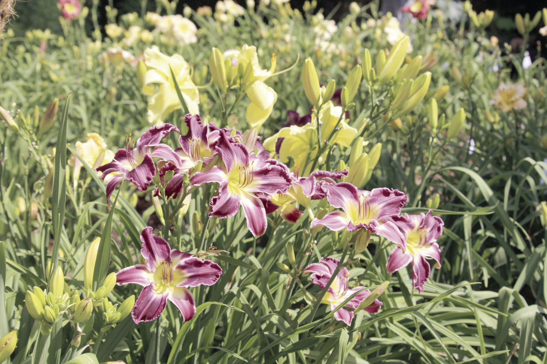 Daylily Gardens