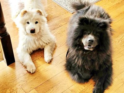 Kendra Golden of Festus said her Chow Chose are low maintenance dogs.