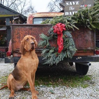 Waylon, a bloodhound, got to get his picture taken, too, when his owner, Brook Mowery and her fiance visited Kimmswick for their engagment photos.