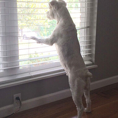 Amy Schmitt, formerly of Festus, said her schnauzer, Harry, loves to look out this window at their St. Louis County home.