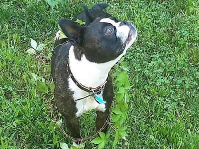 Philo, a Boston terrier, got tangled up in some Virginia creeper while owner Stephanie Philo was weeding outside their Hillsboro home.