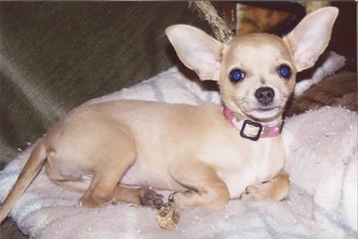 Carl Zavorka of Hillsboro sent in this photo of his Chihuahua