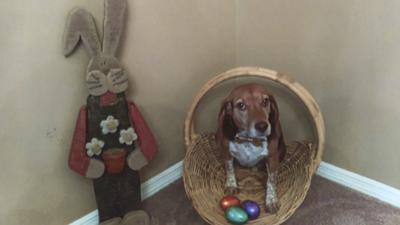 Logan, a beagle, doesn't mind the Easter bunny, but he hates cats.