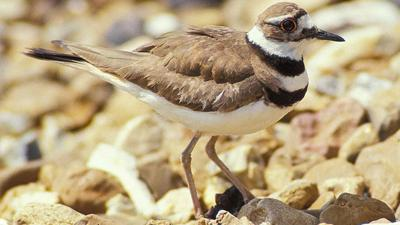 Rock firefighters rescued a killdeer bird similar to this one today.