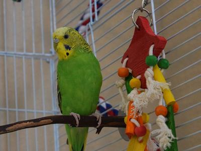 Chartreuse the parakeet