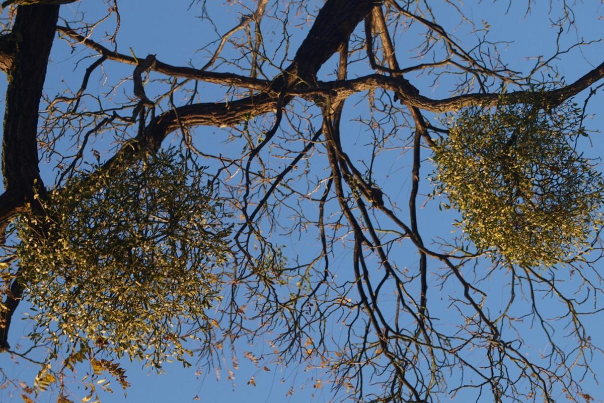 Why mistletoe at Christmas?