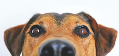 Tumeric and Canine Uveitis: Not so far-fetched