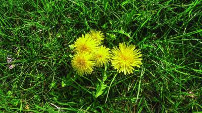 Try dandelion greens early in the season