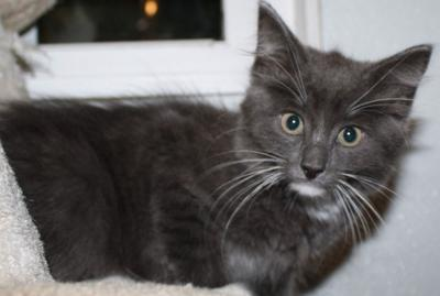 """Cat of the Week"" Adoption available"