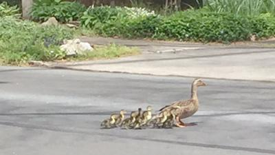 Making way for ducklings