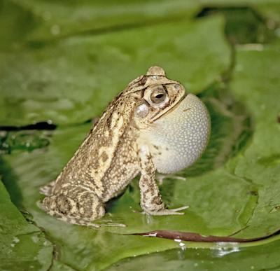 Frogs and toads aplenty this summer