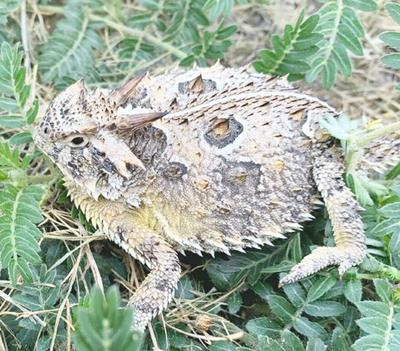 Summertime is horned toad time