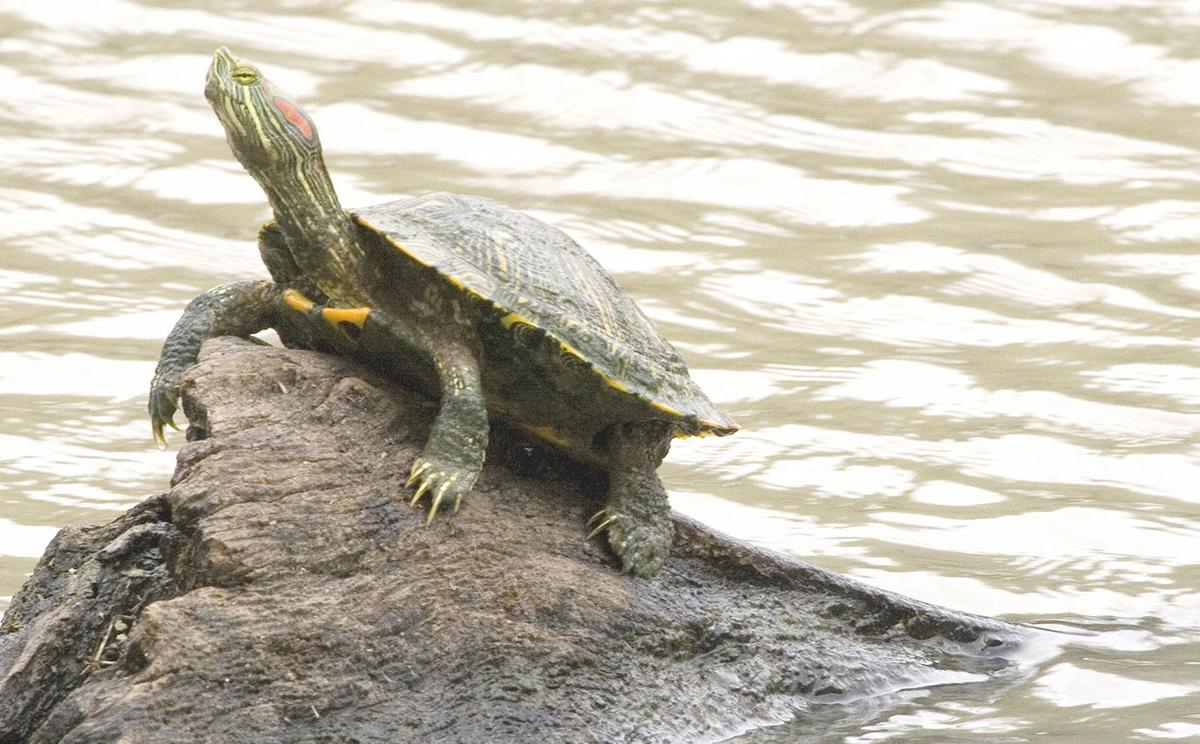 Where Do The Red Eared Sliders Go During Winter Features Mysoutex Com