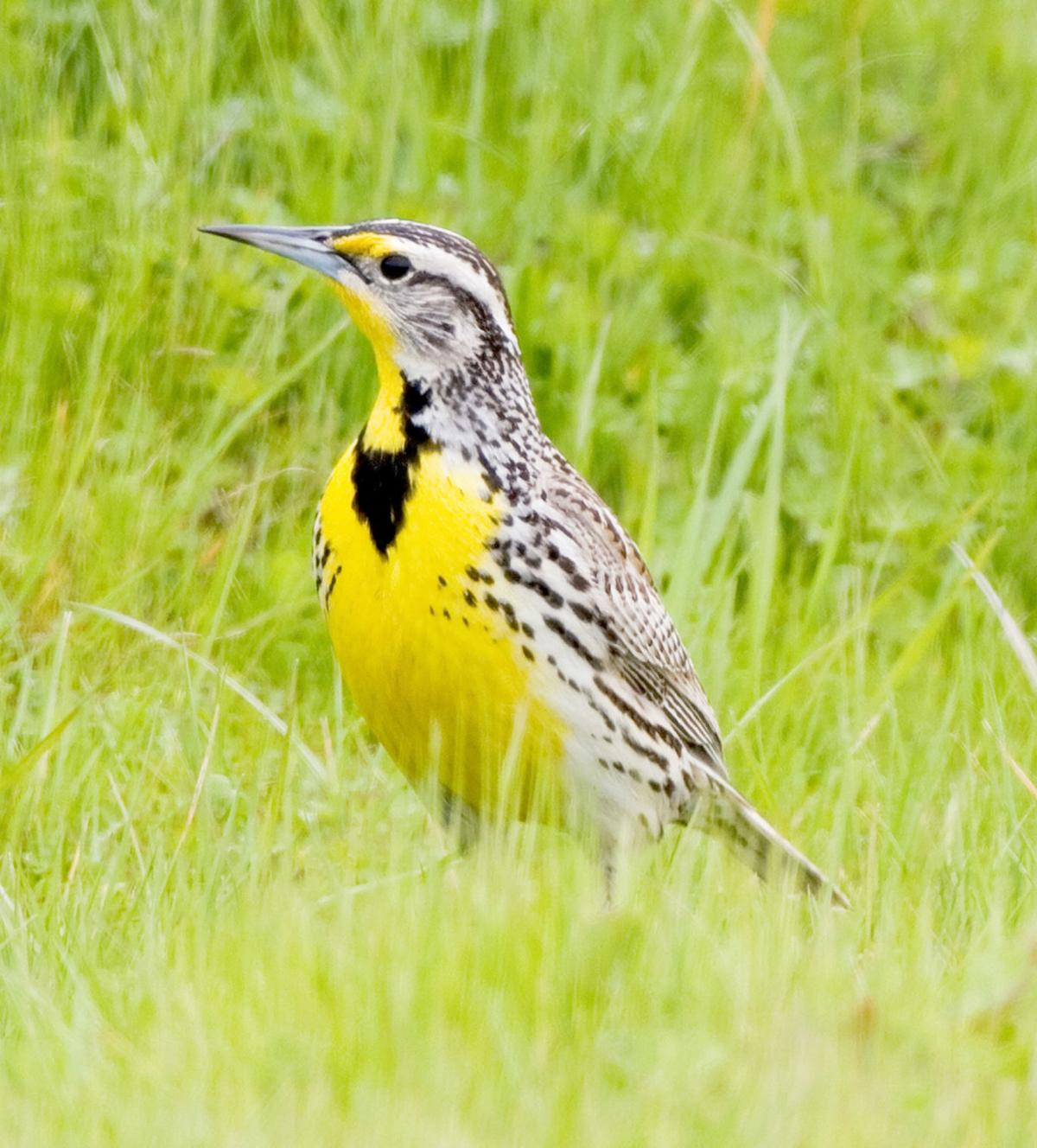 What's not to like about Meadowlarks?