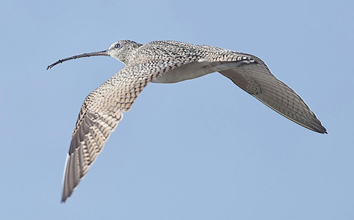 Long-billed Curlews are winter Texans