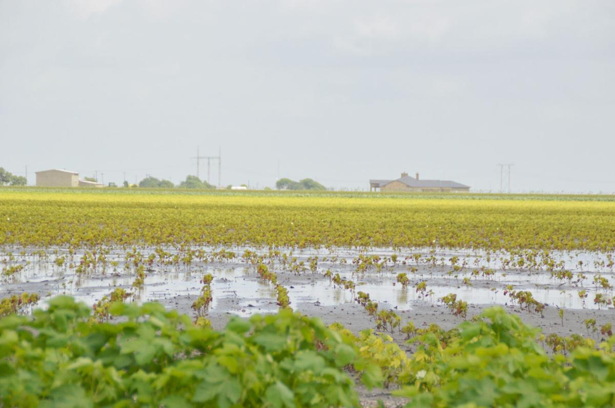 Pg1 6-3 County Plagued by Yellow Cotton_2.jpg