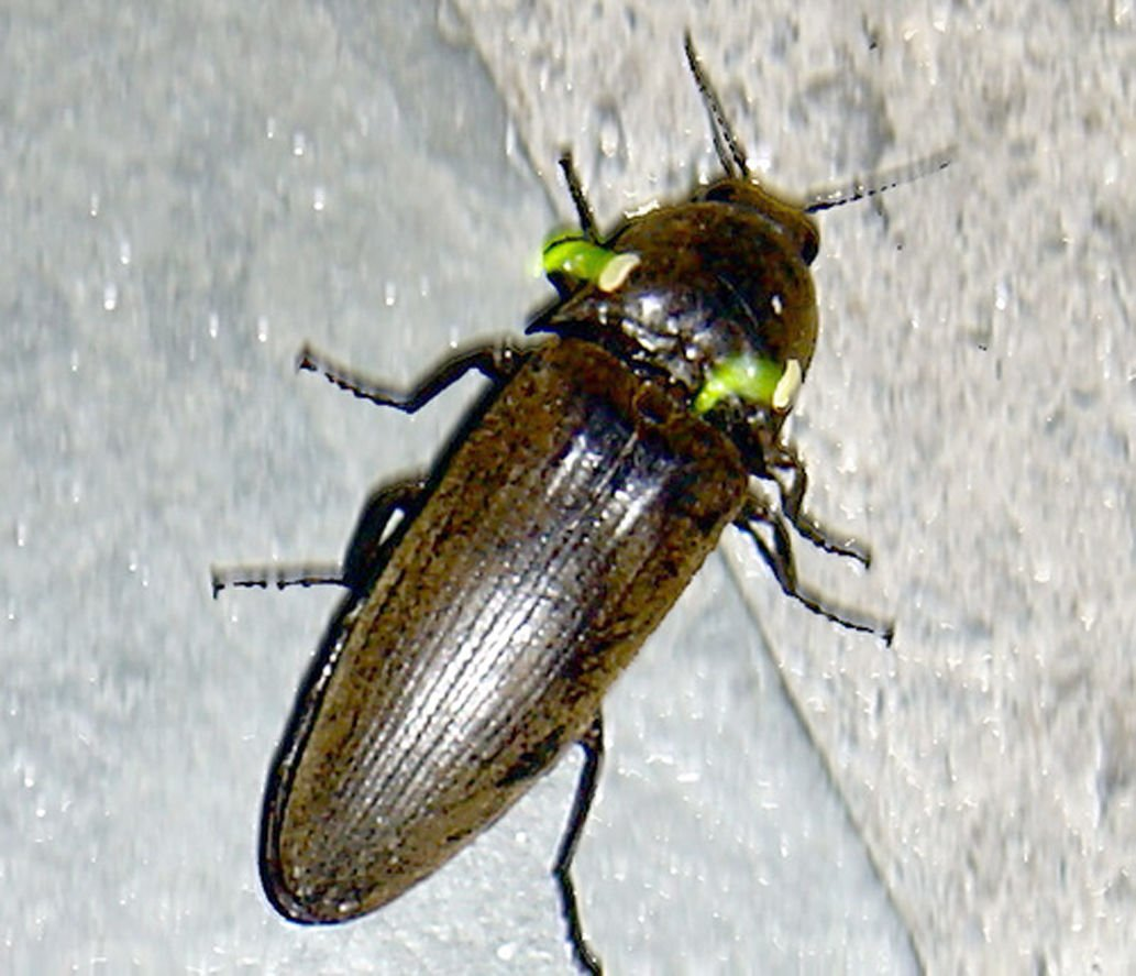 Have we lost our lightning bugs?