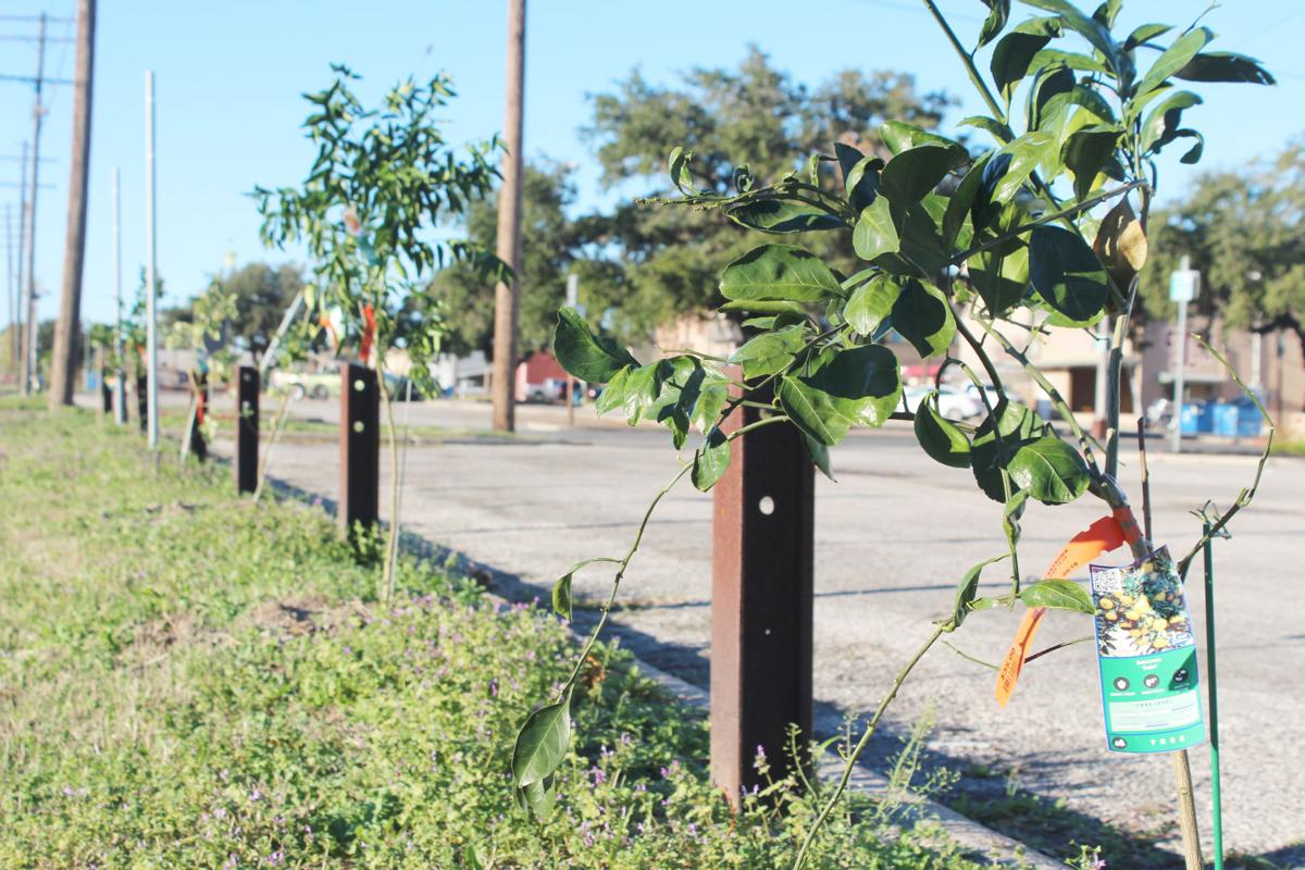 Fruit trees stolen from downtown