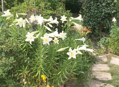 Lilies come in many guises – from elegant to odd