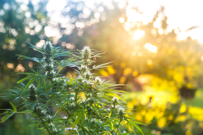 Medical Pot Might Not Be Dead Yet