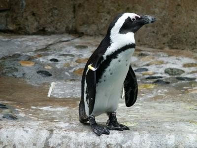 Bees kill 60 rare South African penguins in a freak accident