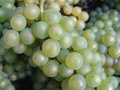 Juice Grape Growers Hit with Another Year of Low Prices