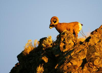 WDFW officials to lethally remove bighorn sheep to prevent a deadly pneumonia outbreak